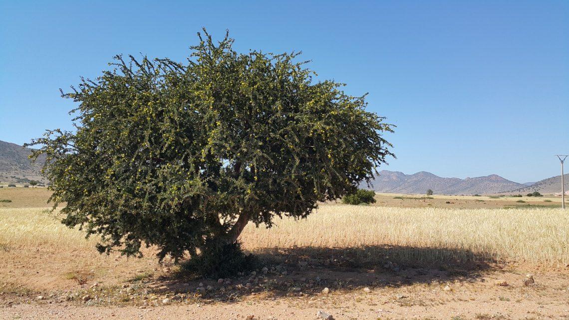 Das Arganöl aus Marokko