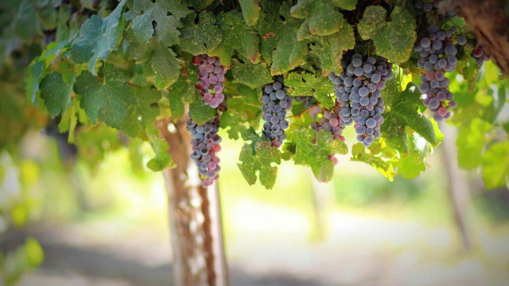 Traubenkernöl findet in der pflegenden Naturkosmetik